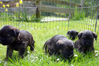 Border Terrier 4 weeks pups