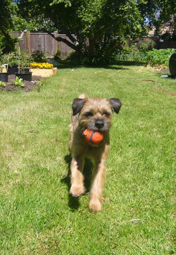 border terrier gus1