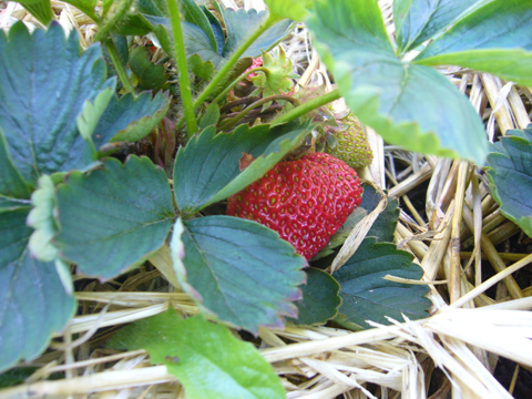 first strawberry 2010