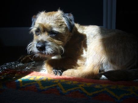 border terrier Gus