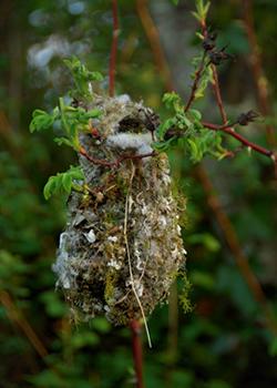 bushtits nest