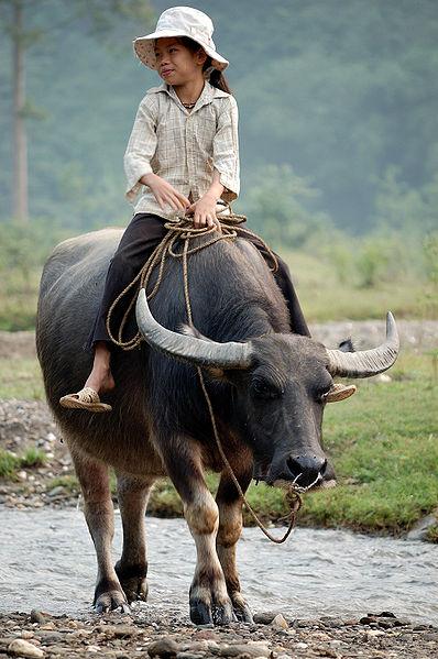 water baffalo