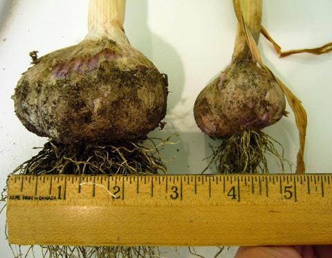 jumbo garlic