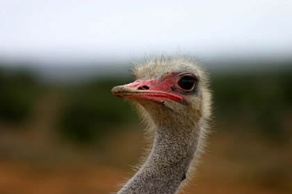 ostrich from wiki