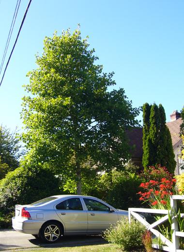 チューリップの木