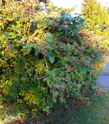 ブラックベリーの茂み