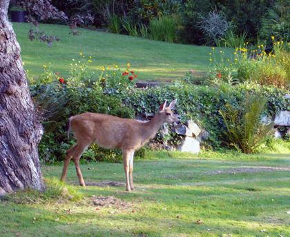 ビクトリアの鹿