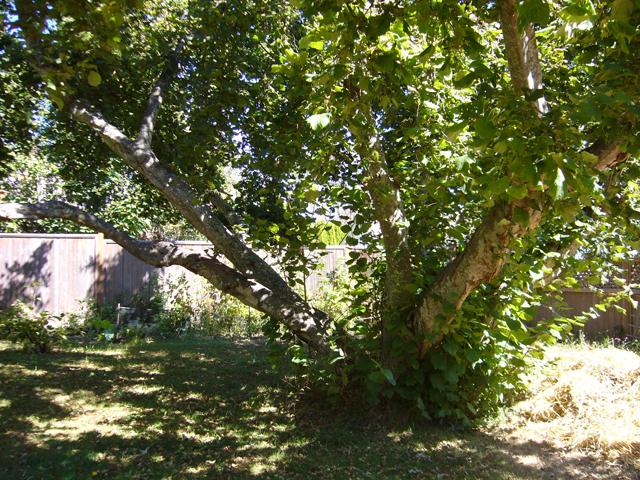 ヘーゼルナッツの木
