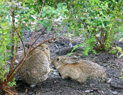 雨の日のウサギ