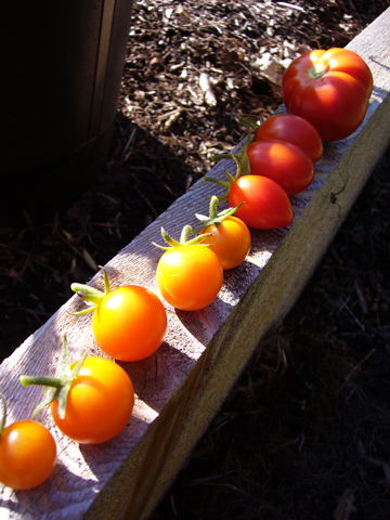 最後のトマト