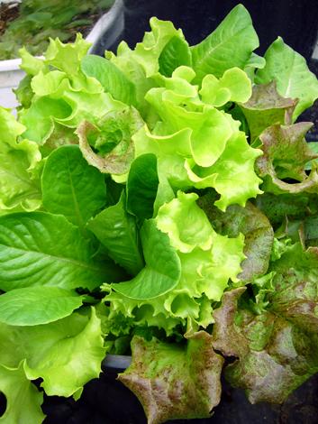 indoor-lettuce