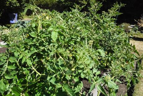 8月の庭野菜