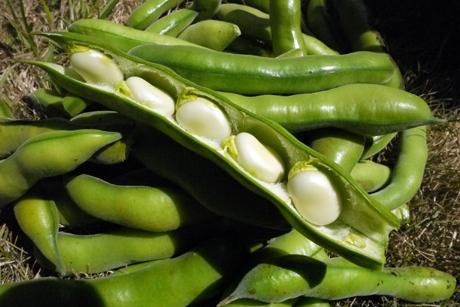 空豆の収穫