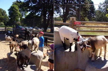ふれあい動物園のヤギ
