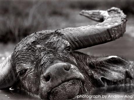 水牛の最後のとき