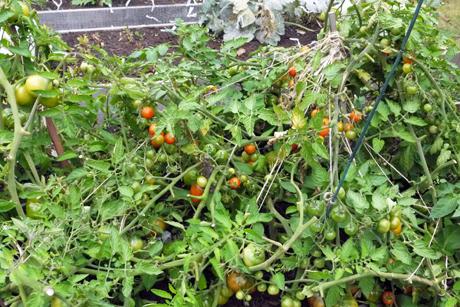 緑のトマト