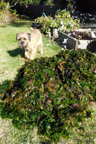 海藻の有機肥料