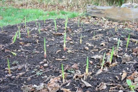 庭のにんにくの芽