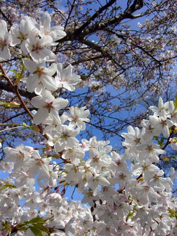 桜ビクトリア2012