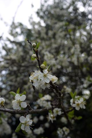 plum flowers