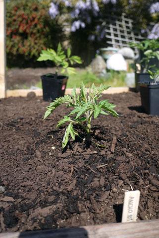 ヘリテージトマトの植えつけ