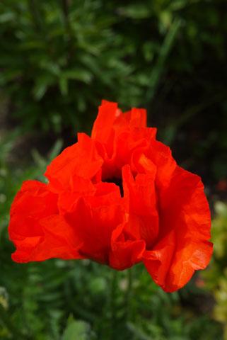 庭のポピー