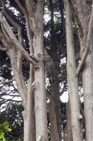 タヌキかアライグマ