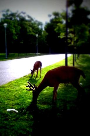 Uvicの鹿
